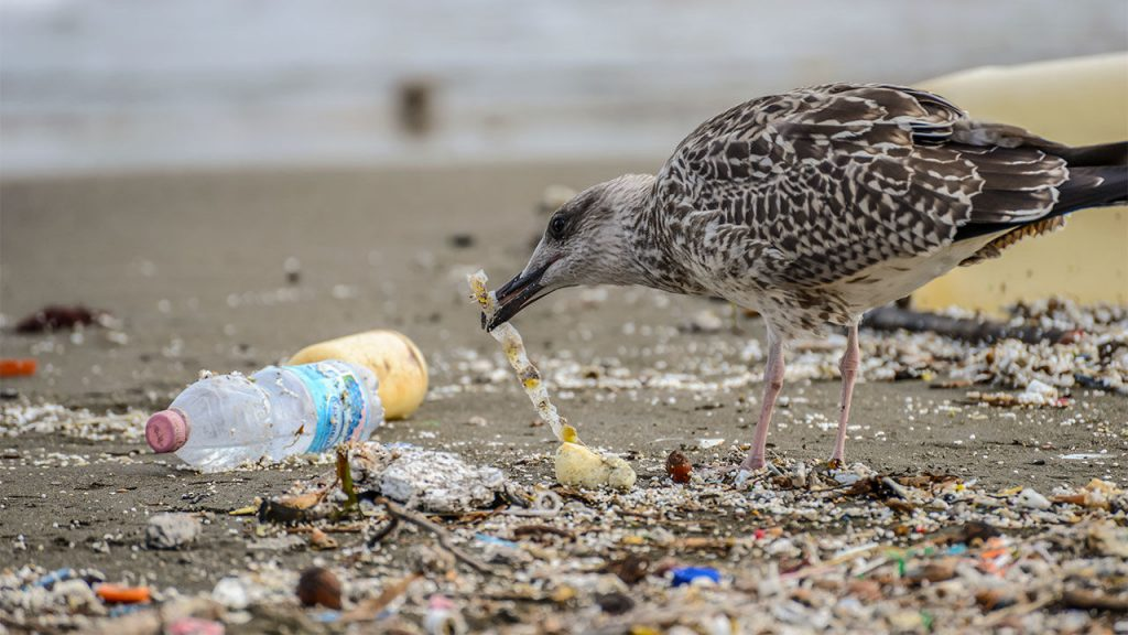 A bird picks up a piece of plastic on a polluted beach