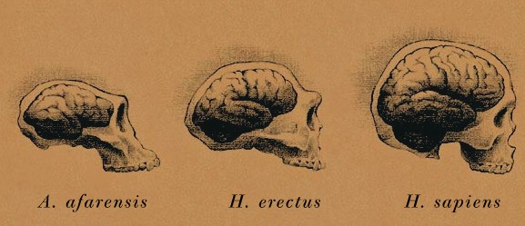The homo sapien brain is compared to that of the homo erectus and the Australopithecus afarensis.