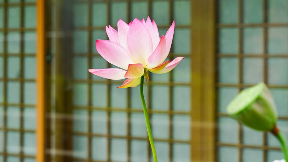 신용인 작품 사진. 격자무늬 미닫이문을 배경으로 연꽃 한송이가 활짝 피어 있다.