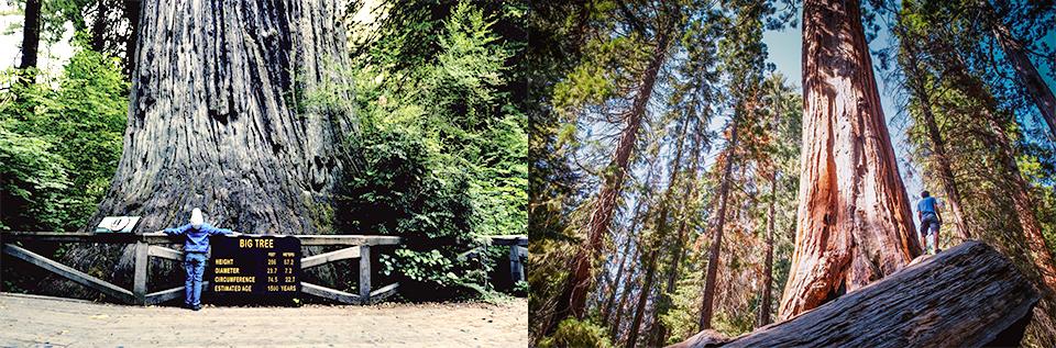 미국 캘리포니아에 있는 지구상에서 가장 높이 자라는 나무인 '레드우드(Redwoood)'