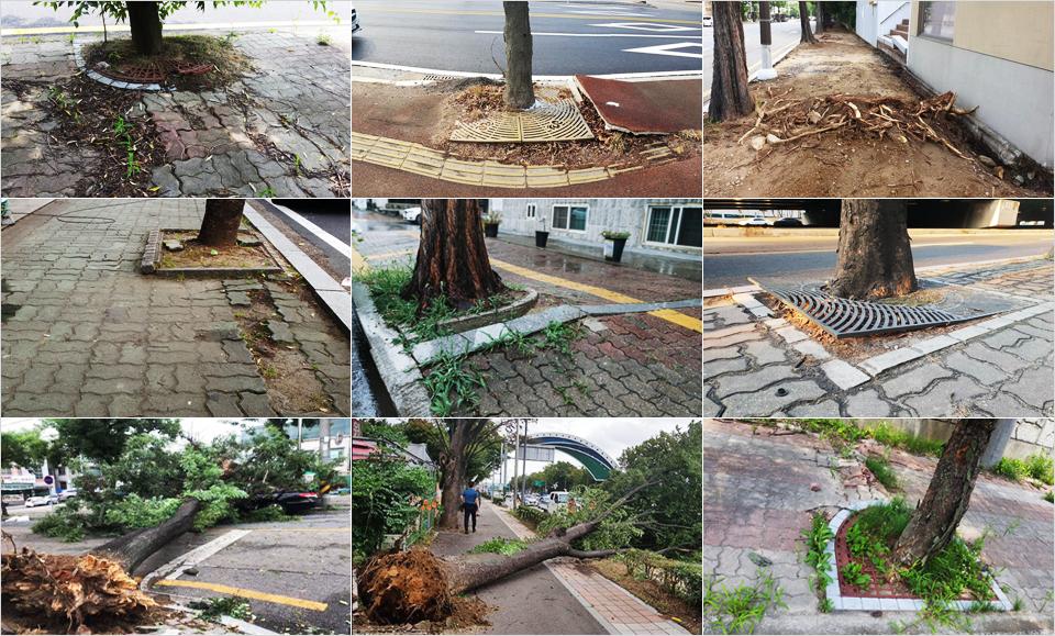 9장의 콜라주 사진. 가로수 뿌리 융기에 의해 보도블록이 깨지고 태풍 링링으로 가로수가 쓰러져있다.