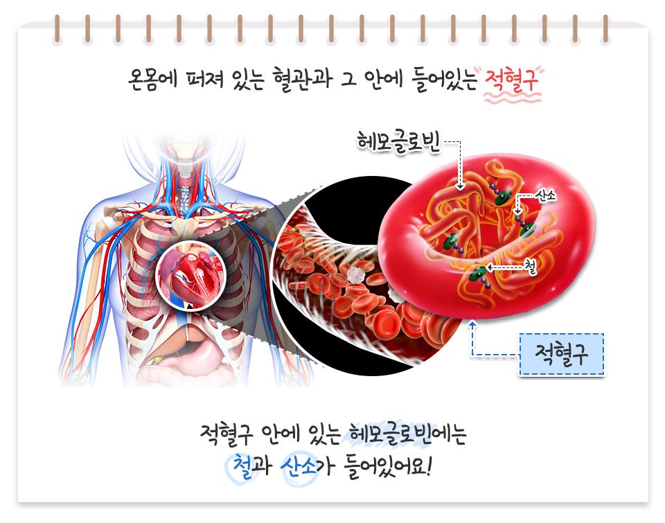 온몸에 퍼져 있는 혈관과 그 안에 들어있는 적혈구 적혈구 이미지 헤모글로빈 산소 철 적혈구 안에 있는 헤모글로빈에는 철과산소가 들어있어요!