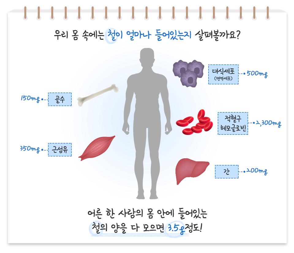 우리 몸 속에는 철이 얼마나 들어있는지 살펴볼까요? 대식세포(면역세포) 500mg 골수 150mg 근섬유 350mg 적혈구 헤모글로빈 2,300mg 간 200mg 어른 한 사람의 몸 안에 들어있는 철의 양을 다 모으면 3.5g 정도!